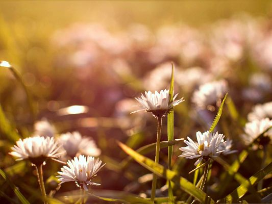 click to free download the wallpaper--Meadow Flowers Image, White and Pure Flowers on Fuzzy Background