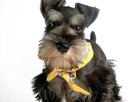 click to free download the wallpaper--Miniature Schnauzer Dog, Puppy in Yellow Silk Ribbon, Nice in Look