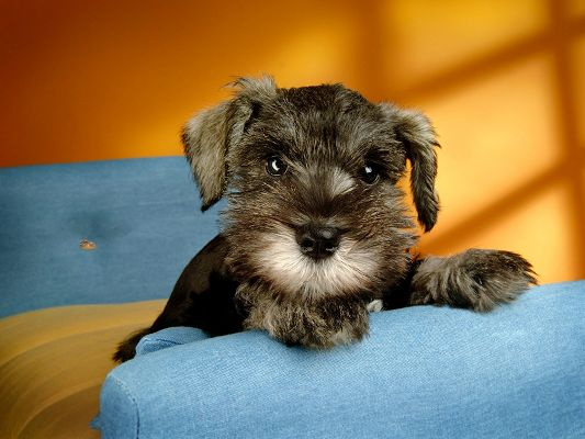 click to free download the wallpaper--Miniature Schnauzer Puppies, Attentive Eyesight, Sunshine in the House