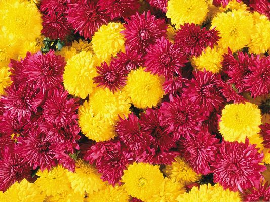 click to free download the wallpaper--Mum Flowers Picture, Colorful and Blooming Flowers, Piled Up, Looking Great Together
