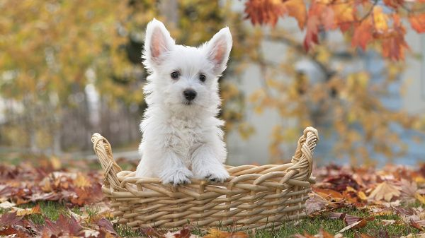 Must Be an Obdient and Sweet Puppy, Won't Leave the Basket without Order, No Matter What Happens - HD Cute Puppy Wallpaper