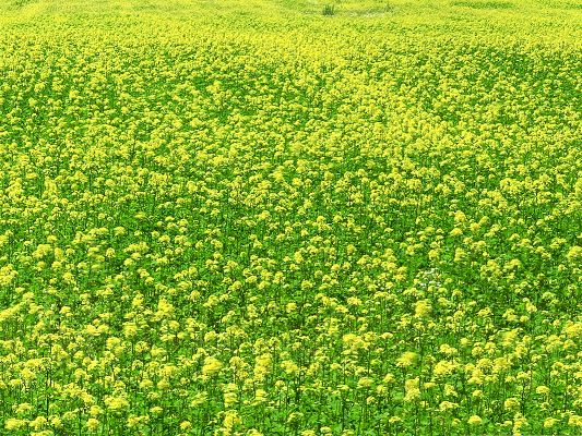 click to free download the wallpaper--Mustard Flower Field, Green and Yellow Flowers, Endless Flower Field