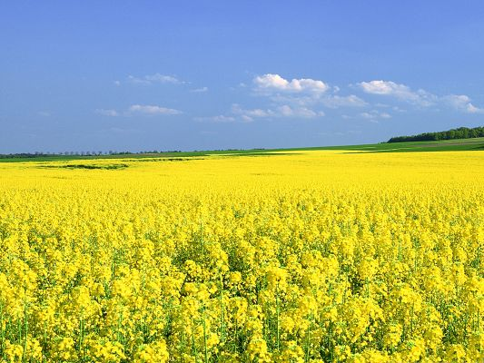 click to free download the wallpaper--Mustard Flower Field, Yellow Flower Field Under the Blue Sky, Great Summer Scene