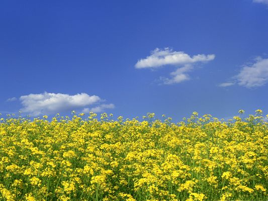 click to free download the wallpaper--Mustard Flower Field, Yellow Flower Field, the Blue and Cloudless Sky