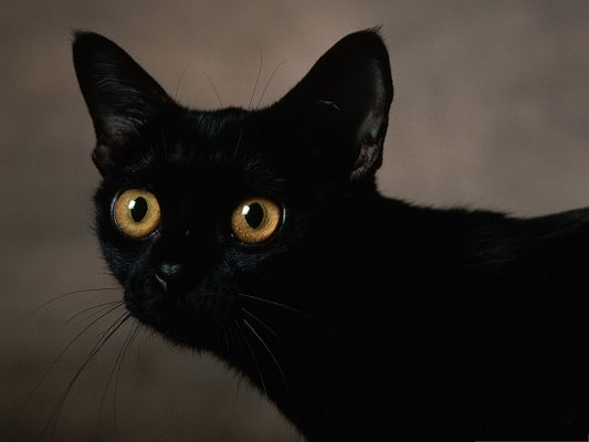 click to free download the wallpaper--Mysterious Cate Picture, Black Cat's Eyes Wide Open, Scary Look