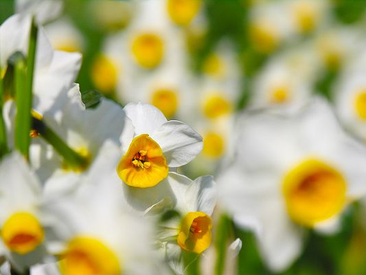 click to free download the wallpaper--Narcissus Flower Wallpaper, Yellow and White Flowers, Green Stem