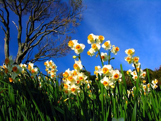 Narcissus Flowers Image, White and Blooming Flowers Under the Blue Sky