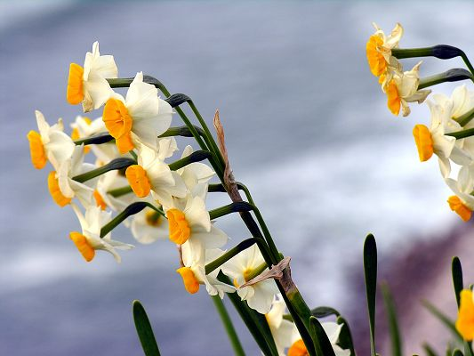 click to free download the wallpaper--Narcissus Flowers Picture, Yellow Blooming Flowers Smile Toward the Sky
