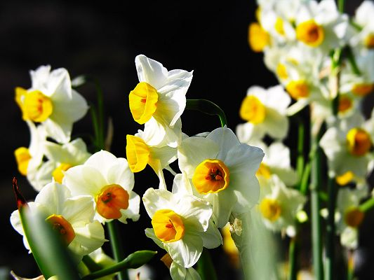 Narcissus Flowers Picture, Yellow Flowers in Smile, Black Background
