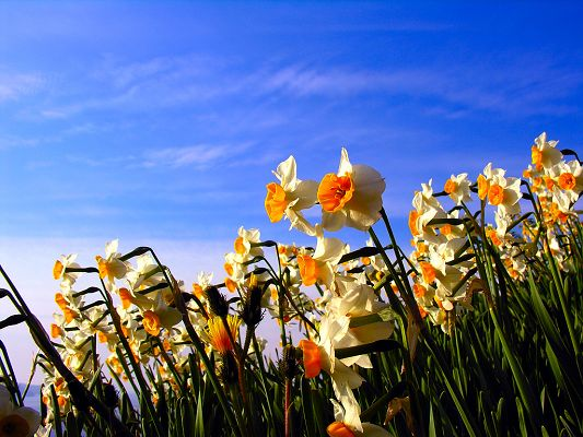 click to free download the wallpaper--Narcissus Flowers, White and Orange Flowers Under the Blue Sky