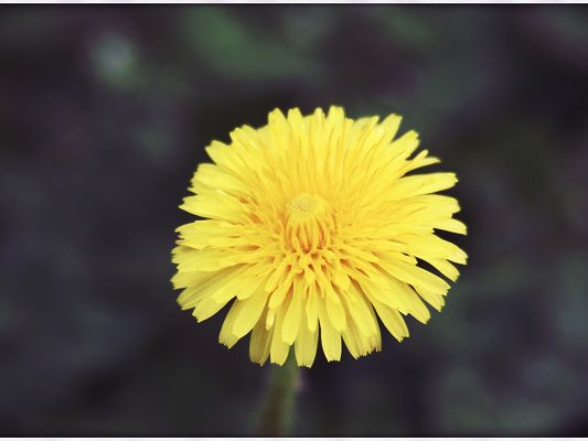 Natural Flower Landscape, a Rounded Yellow Flower, Dark Background, Simple and Impressive Wallpaper