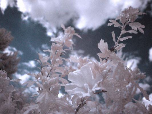click to free download the wallpaper--Natural Flower Photos, White Infrared Flowers in Bloom, an Incredible Scene