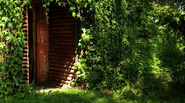 click to free download the wallpaper--Natural Green Scenes - Green Plants All Over the Red Door, Sunlight Pouring on Them, Summer and Prosperous Scene