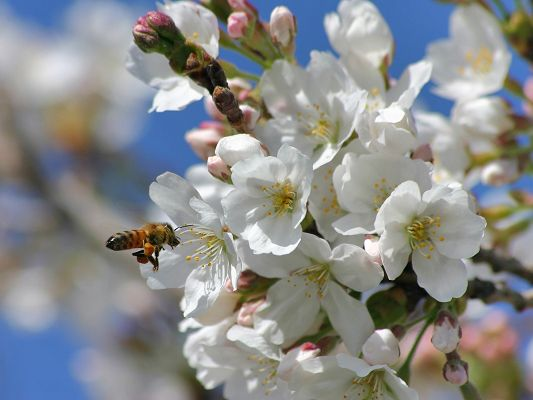 click to free download the wallpaper--Natural Landscape Images, Spring Blossoms, Bees Shall Work Non-Stop