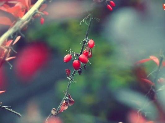 Natural Scenery Pics, Red and Ripe Fruits, Autumn is Cheerful and Impressive