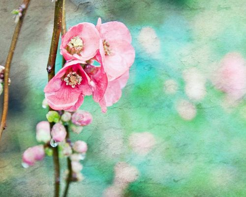 click to free download the wallpaper--Natural Scenery Post, Pink Blooming Flowers, Green Background, Waterdrop on Them, Fresh and Clean Scene