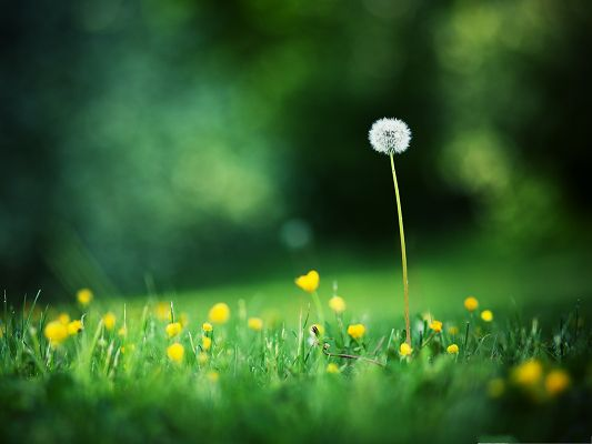 Nature Dandelion Landscape, White and Lonely Plant, Fly Away at Any Time