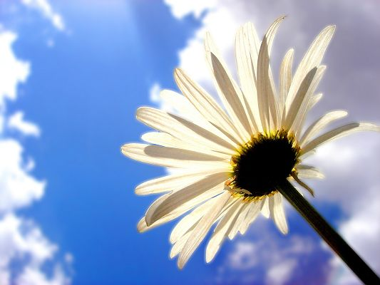Nature Flowers Landscape, a White Flower Smiling Toward the Sun, the Blue Sky