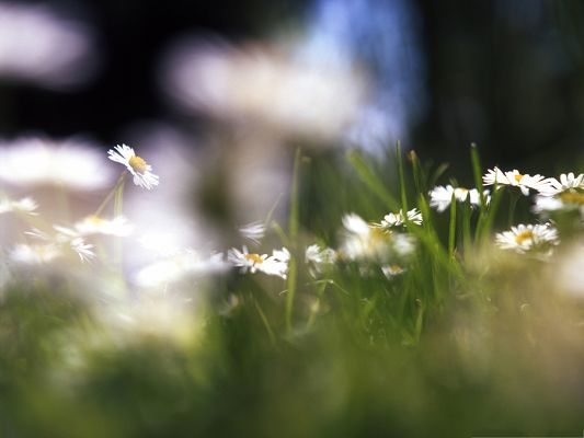 click to free download the wallpaper--Nature Flowers Picture, White Blooming Flowers Among Green Grass