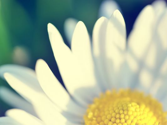 click to free download the wallpaper--Nature Flowers Picture, Yellow Flower with White Petals, Pure and Decent Look