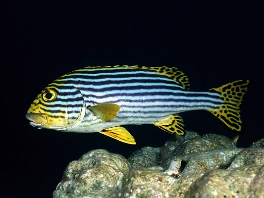 click to free download the wallpaper--Nature Landscape Image, the Underwater World, a Stripe Fish, Free Swim