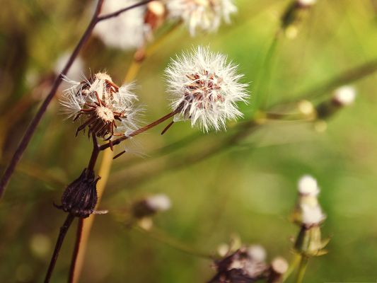 click to free download the wallpaper--Nature Landscape Images, Dandelions About to Fly, Relaxable and Fresh Mood