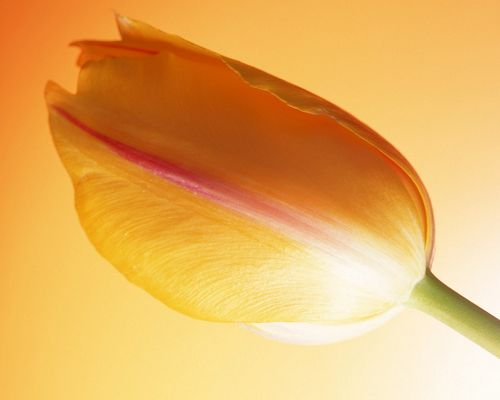 Nature Landscape Images, Hot Tulip on Orange Background, Great in Look
