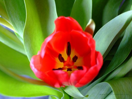 click to free download the wallpaper--Nature Landscape Images, Red Tulips from an Above Angle, Green Grass Surrounding