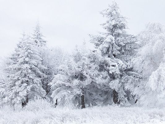 click to free download the wallpaper--Nature Landscape Images, Tall Trees in Thick White Clothes, Peaceful Scene