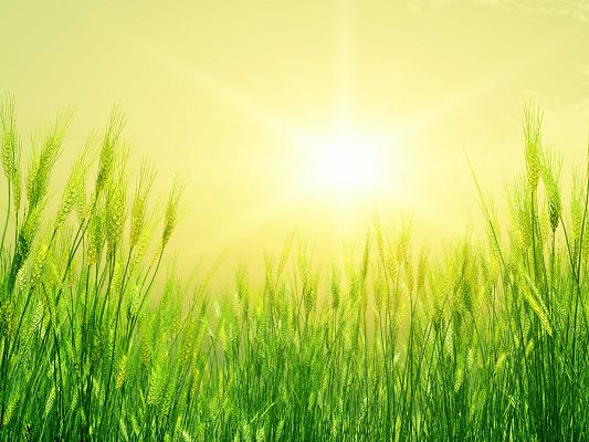 click to free download the wallpaper--Nature Landscape Pic, Green Wheats, Early Summer, the Rising Sun, Will Soon be Ripe