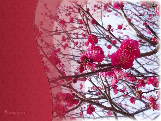 click to free download the wallpaper--Nature Landscape of the World, Spring in Japan, Pink Sakura on Thick Branches