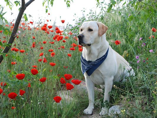 click to free download the wallpaper--Nature Landscape with Animals, Labrador Puppy Among Blooming Flowers, It Wins the Focus