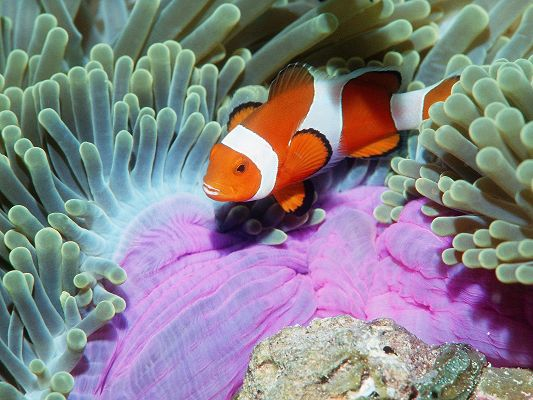 click to free download the wallpaper--Nature Landscape with Animals, an Orange Fish Around Seaweed, It is Nemo-Like