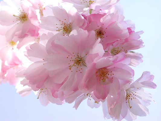 click to free download the wallpaper--Nature Landscape with Flowers, Pink Blooming Flowers, Smile Under the Blue Sky