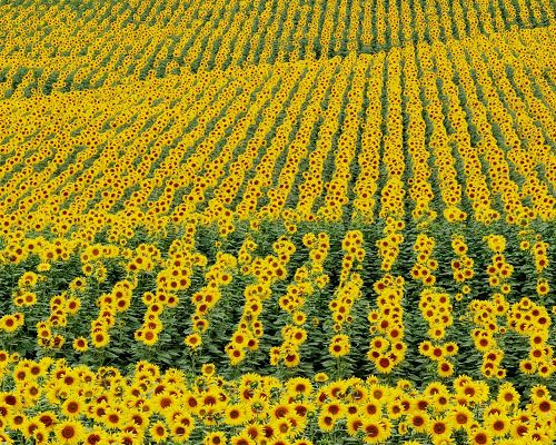 click to free download the wallpaper--Nature Landscape with Flowers, Sunflower Field, Golden and Prosperous Scene
