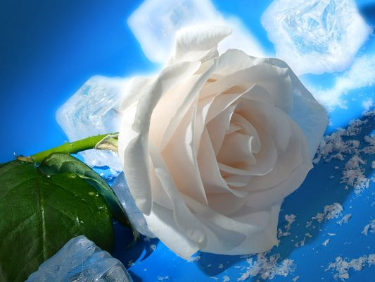 Nature Landscape with Flowers, a White Rose on Ice, Cool Love