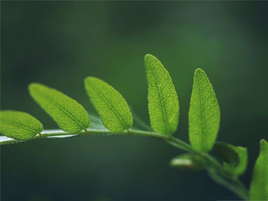 click to free download the wallpaper--Nature Plant Photography, Green Leaves on a Thin Branch, Incredible Look