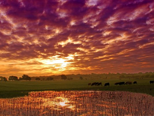 click to free download the wallpaper--Nature Summer Landscape, Grazing Cows Under the Golden Sky, Time to Go Back Home