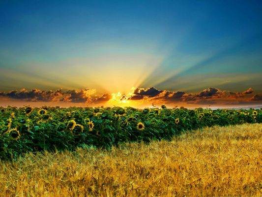 click to free download the wallpaper--Nature Sunflowers Landscape, a Field of Flowers Under the Golden Sky