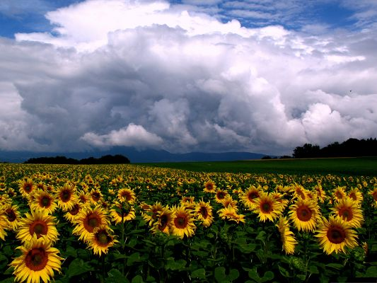 click to free download the wallpaper--Nature Sunflowers Picture, Sunflowers Field Under the Blue Sky, Twisting Clouds