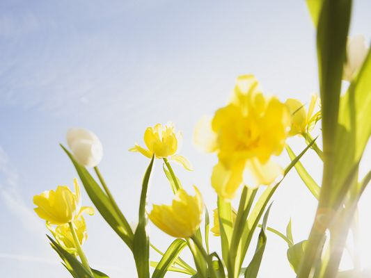 click to free download the wallpaper--Nature and Flowers, Yellow Flowers Under the Blue Sky, a Fine Day