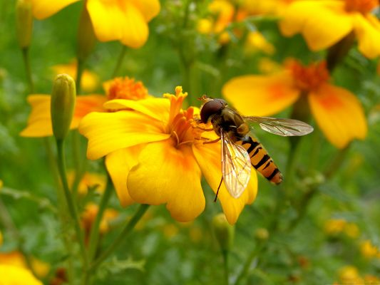 click to free download the wallpaper--Nature and Insect, a Bee on Yellow Flower, Loving Each Other
