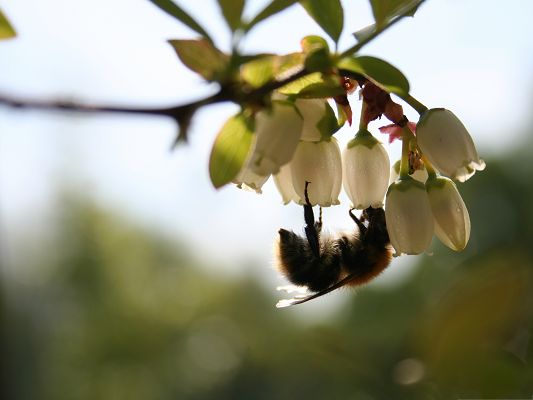 click to free download the wallpaper--Nature and Insects, Bee on Blooming White Flowers, Amazing Scenery