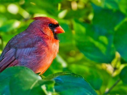 click to free download the wallpaper--Northern Cardinal Photos, Red and Beautiful Bird Among Green Plants