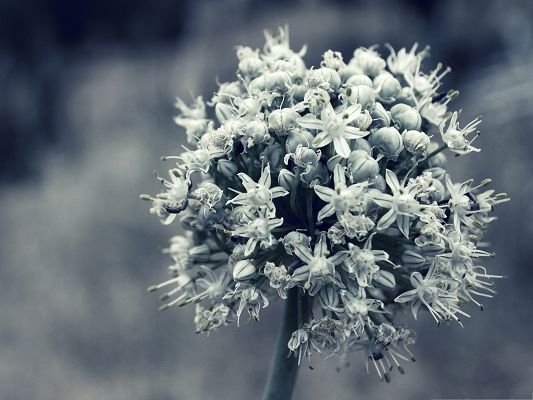 Onion Flowers Photography, Blooming Flowers on Fuzzy Background, Black and White Style