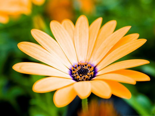 click to free download the wallpaper--Orange Cape Daisy Flower, Long and Wide Petals, Clean Fresh Scenery