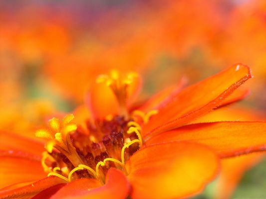 click to free download the wallpaper--Orange Flower Picture, Blooming Flower Under Macro Focus, Amazing Scene