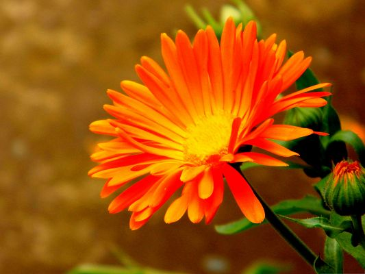 click to free download the wallpaper--Orange Flower Picture, Bright-Colored Flower in Bloom, Green Leaves as Support