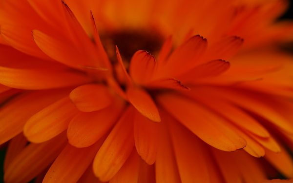 click to free download the wallpaper--Orange Flower Pictures, Blooming Flower Under Macro Focus, Amazing Scene
