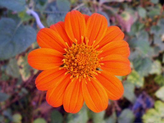 Orange Flowers Image, Orange Flower in Bloom, Long and Impressive Petals